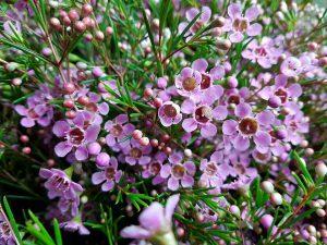 オススメ オーストラリア ワックスフラワー ピンク