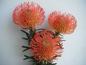 南アフリカ産 ピンクッション(サクセッション)