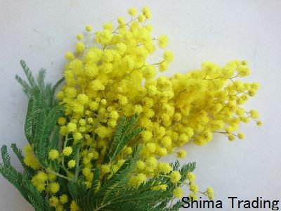 20190212 mimosa_0003